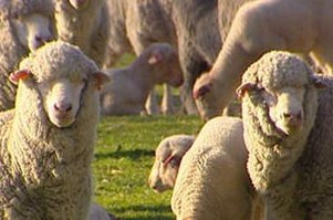 Famous South Australian 'Collinsville' merino sheep station and stud sells