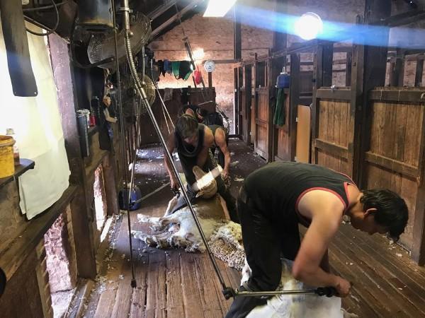 Ram Lamb Shearing