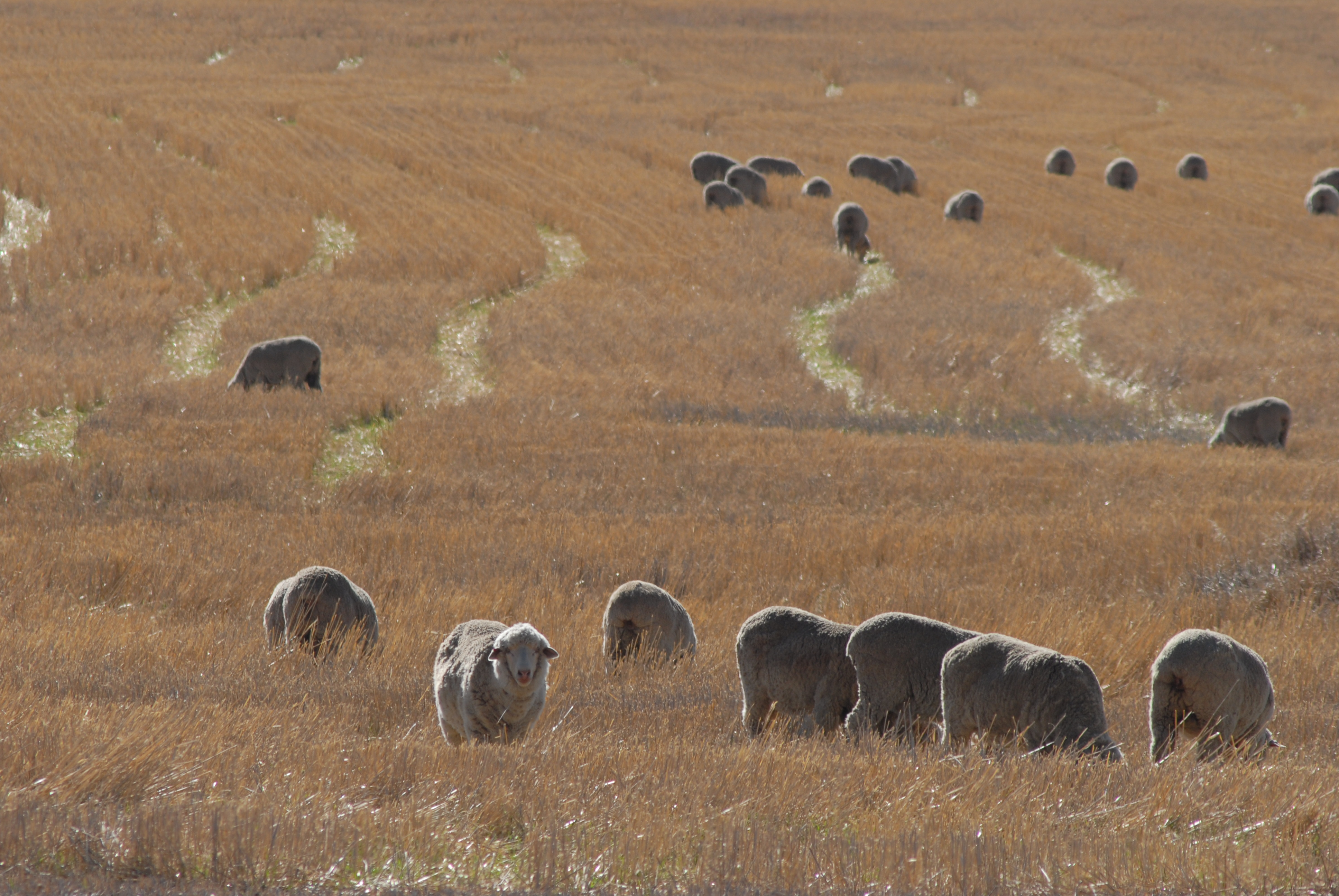 SHEEP INDUSTRY PROJECTIONS