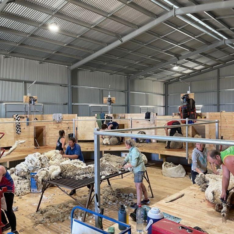 Kadlunga Shearing Shed in action