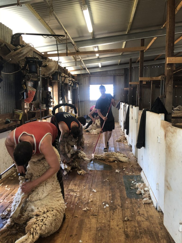 SHEARING TIME AT COLLINSVILLE STATION, PULPARRA