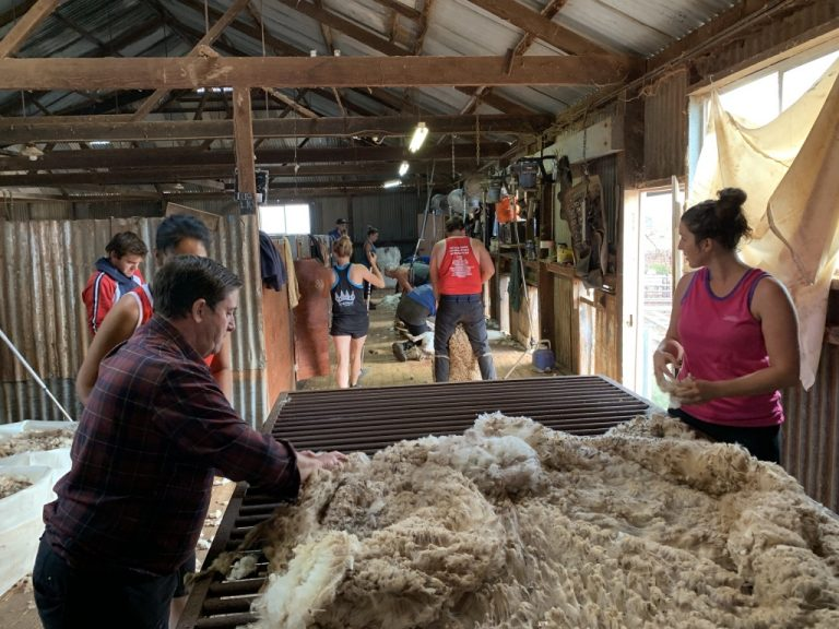 Shearing Has Started at Collinsville!
